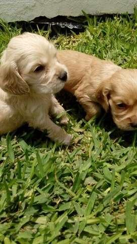 Cachorros Cocker Spaniel hembras y machos, desparasitados y vacunados