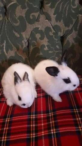 venta de conejitos como mascota
