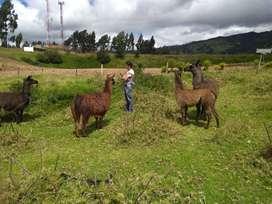 Venta de llamas camelido,Guanacos. .