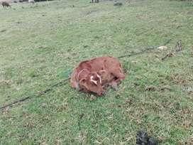 Vacas patianas