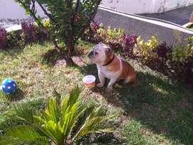 Poderoso Bulldog Ingles 100% puro y sano