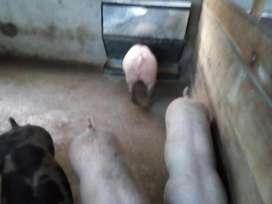 Comederos para cerdos