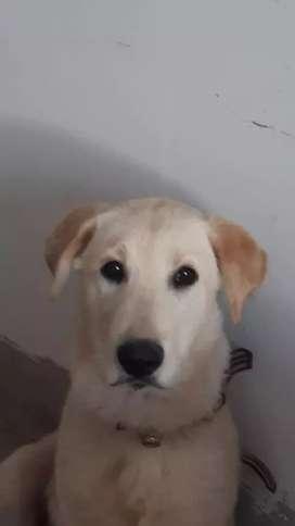 Cachorro de 3 meses labrador