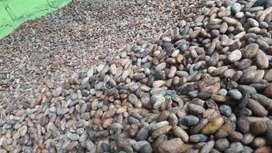 Venta de 28 hectareas de cacao  ramilla en producción