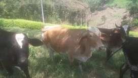 Lote de vacas Giroland, Simentan y F1