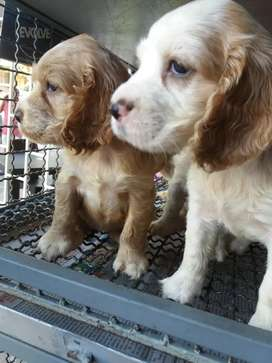 Vendo cocker spaniel