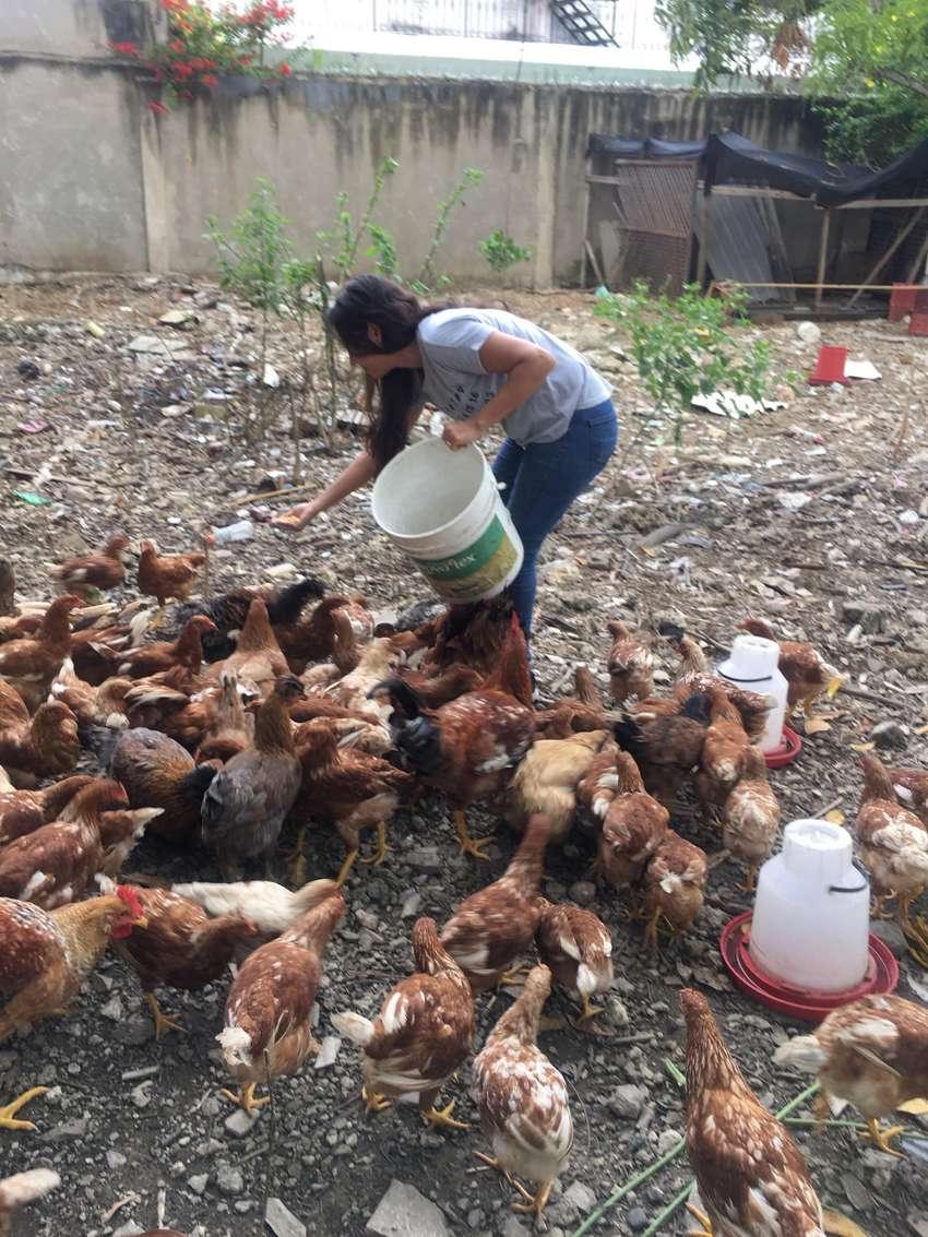 Se venden gallinas ponedoras en Cartagena Bolívar 0