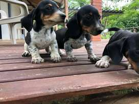 Cachorritos teckel piebald