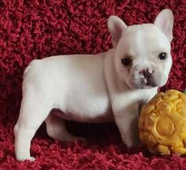 Somos criadores de bulldog francés e inglés
