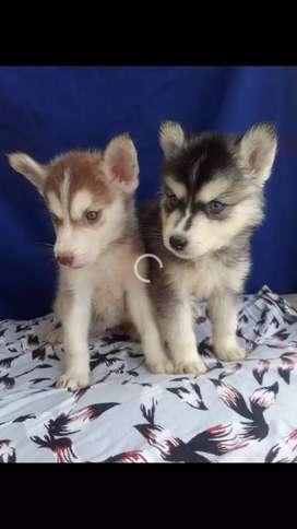 Se venden perritos huskys siberianos disponibles