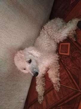 En Adopción perrita poodle