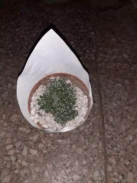 Cactus maceta número 8