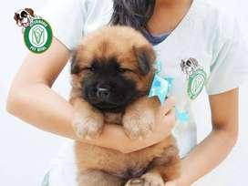 Cachorritos Chow Chow preciosos en Pet Vital
