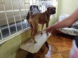 Boxer Americano Buca Novia 0981643062