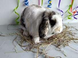Conejos Belier en Bogota
