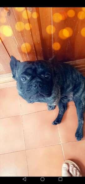 Vendo hermoso bulldog francés
