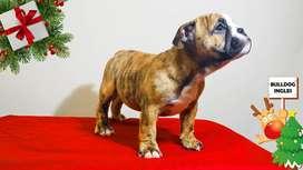 Bulldog ingles hembritas