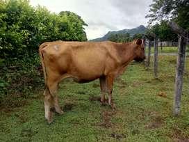 Vaca tipo leche.