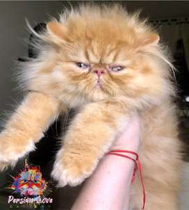 Persa Extremo Red Tabby Macho