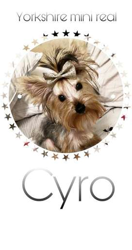 Yorkshire terrier mini real