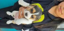 Lindos cachorros Beagles