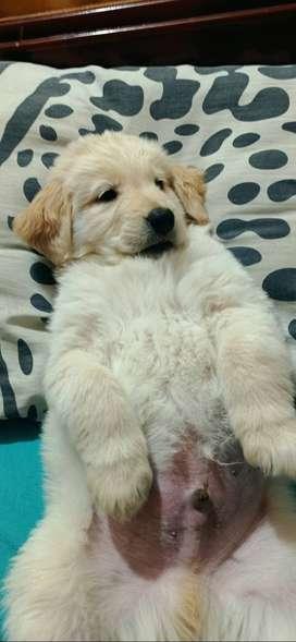 Cachorro Golden retriever en venta