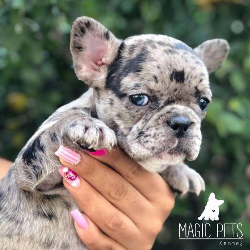 Bulldog frances en ventas Merle [EXOTICO] 0