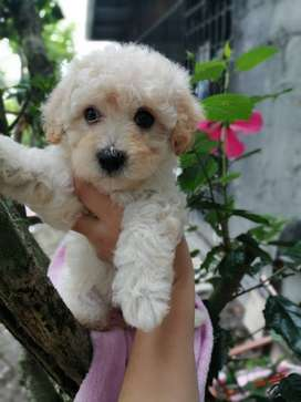 Vendo french poodle toy