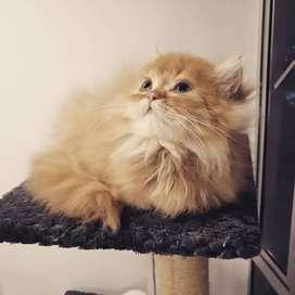 Vendo gatico persa
