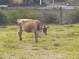 Vacas yersey