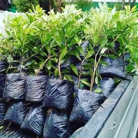 Venta de arboles NATIVOS para conservar quebradas y nacederos flor morado otros