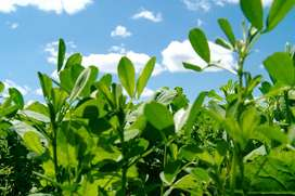 semillas de alfalfa planta