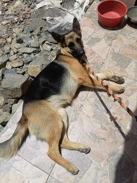 Vendo hermosa perra pastor alemán