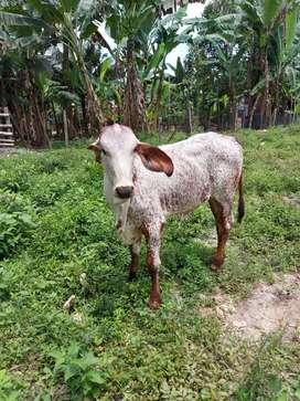 Vendo vaca parida gyr brazilera