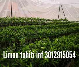 Árbolitos limón tahiti naranja mandarina aguacate