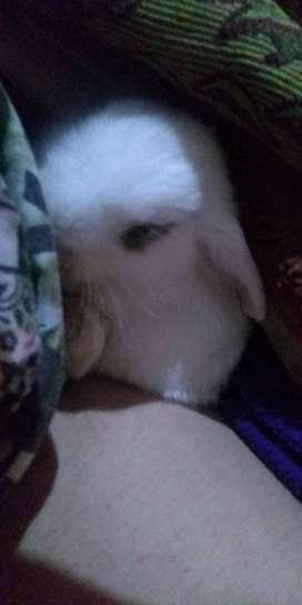 Conejos orejas caidas