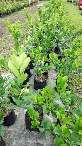 Vendo plantas de arándanos quito norte