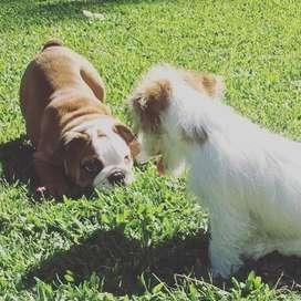 lindos cachorros vacunados y desparasitados bulldog ingles de 54 dias de vida