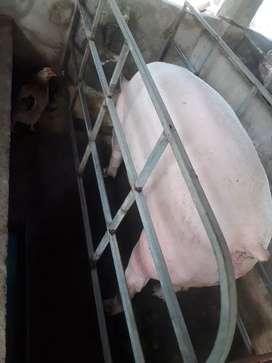 Venta de cerdos a 0.95 la libra en Pie