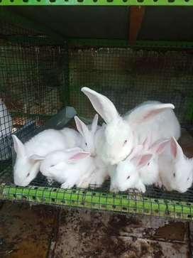 Conejos Flandes mariposa chinchilla y california
