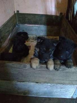 Excelente cachorras Ovejero alemán