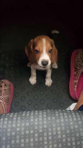 Hermoso Beagle 2 meses con todas las vacunas