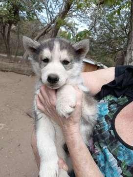 Cachorros husky siberianos.