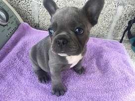 Hermosos cachorros bulldog francés blue y pied blue,