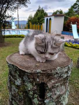 Vendo gatico raza british shorthair 3 meses