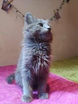 Gato raza NEBELUNG familia del angora
