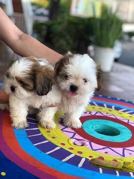 Se vende cachorrito shih tzu