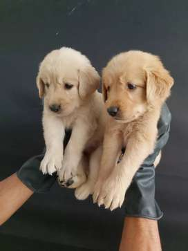 Felices adorables golden retriever