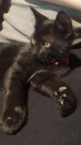 Gato Negro en Adopción