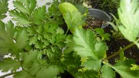 Planta Organica de Albahaca
